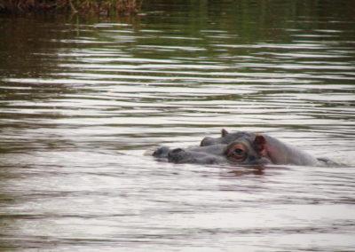 Longleat Safari Park - hipopotam