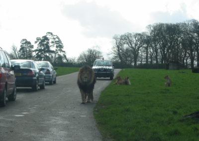 Longleat Safari Park - lew maszeruje