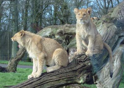 Longleat Safari Park -lwia nuda
