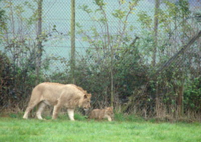 Longleat Safari Park -lwy dwa
