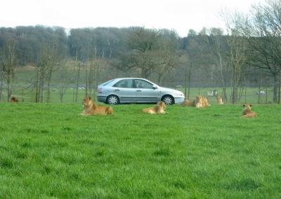 Longleat Safari Park - lwy i samochod