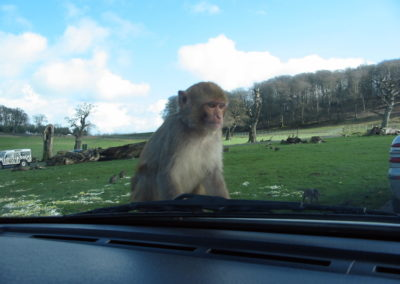 Longleat Safari Park - małpa na samochodzie