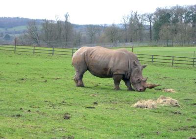Longleat Safari Park - nosorożec