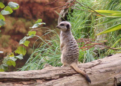 Longleat Safari Park - surykatka