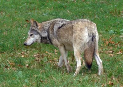 Longleat Safari Park - wilk