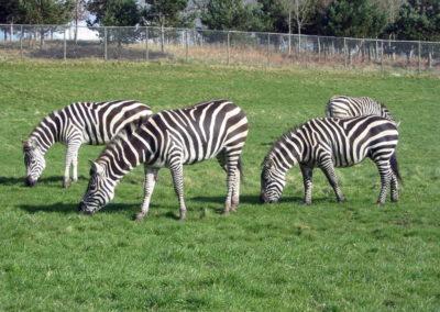 Longleat Safari Park - zebry