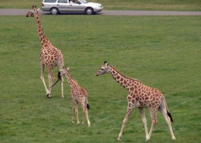 Longleat Safari Park - żyrafy