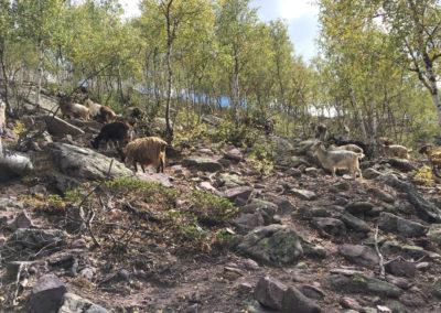 W drodze ku stadu kóz.