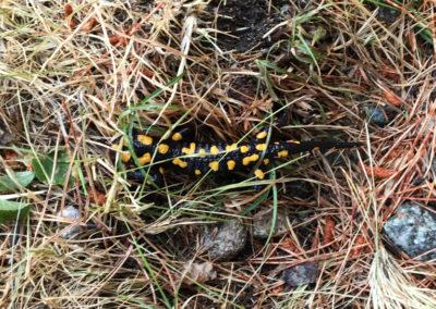 Salamandra!