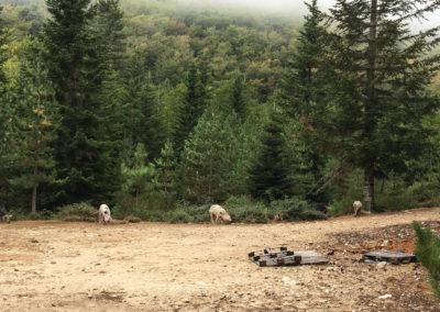 Pierwsze korsykańskie świnie!