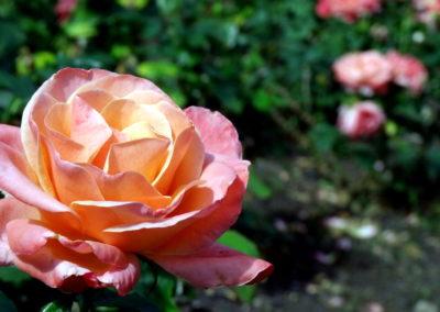 tajemniczy ogród w Blenheim Palace